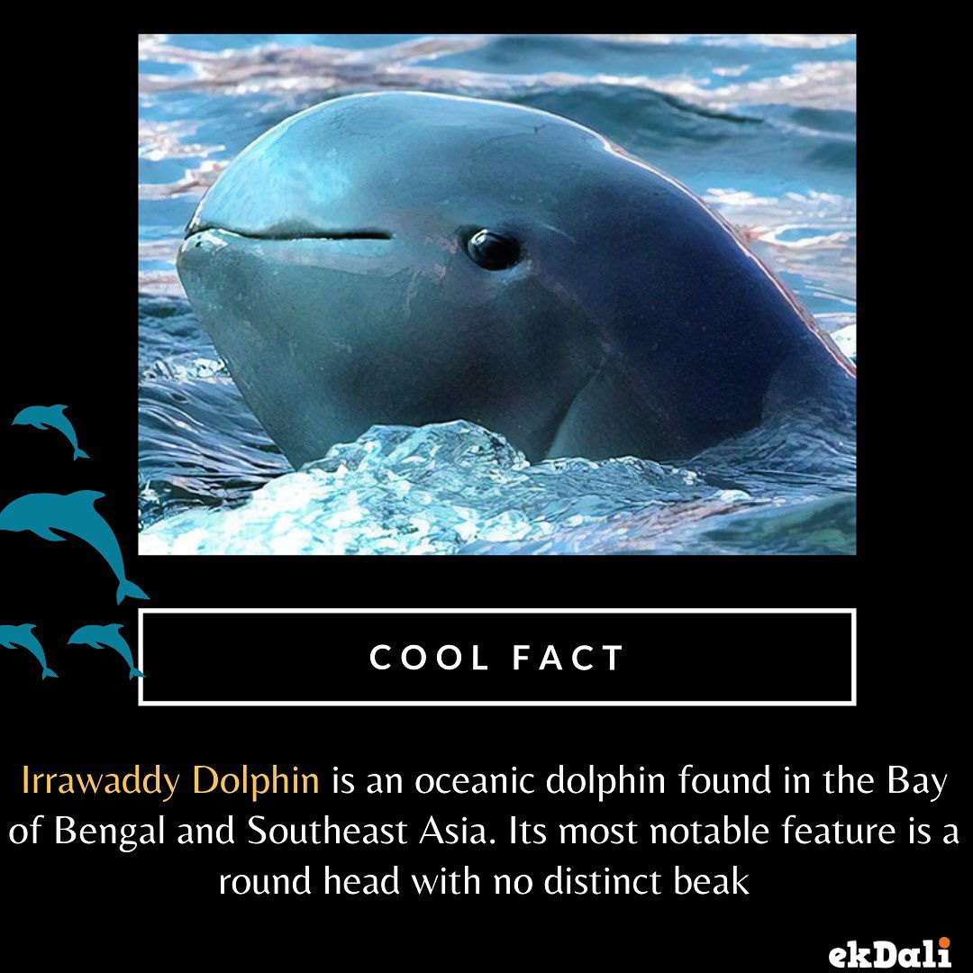Animals of India - Irrawaddy River Dolphin