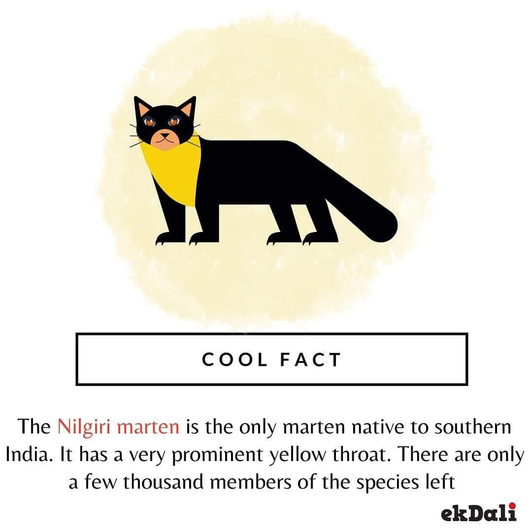 Animals of India - The Nilgiri marten