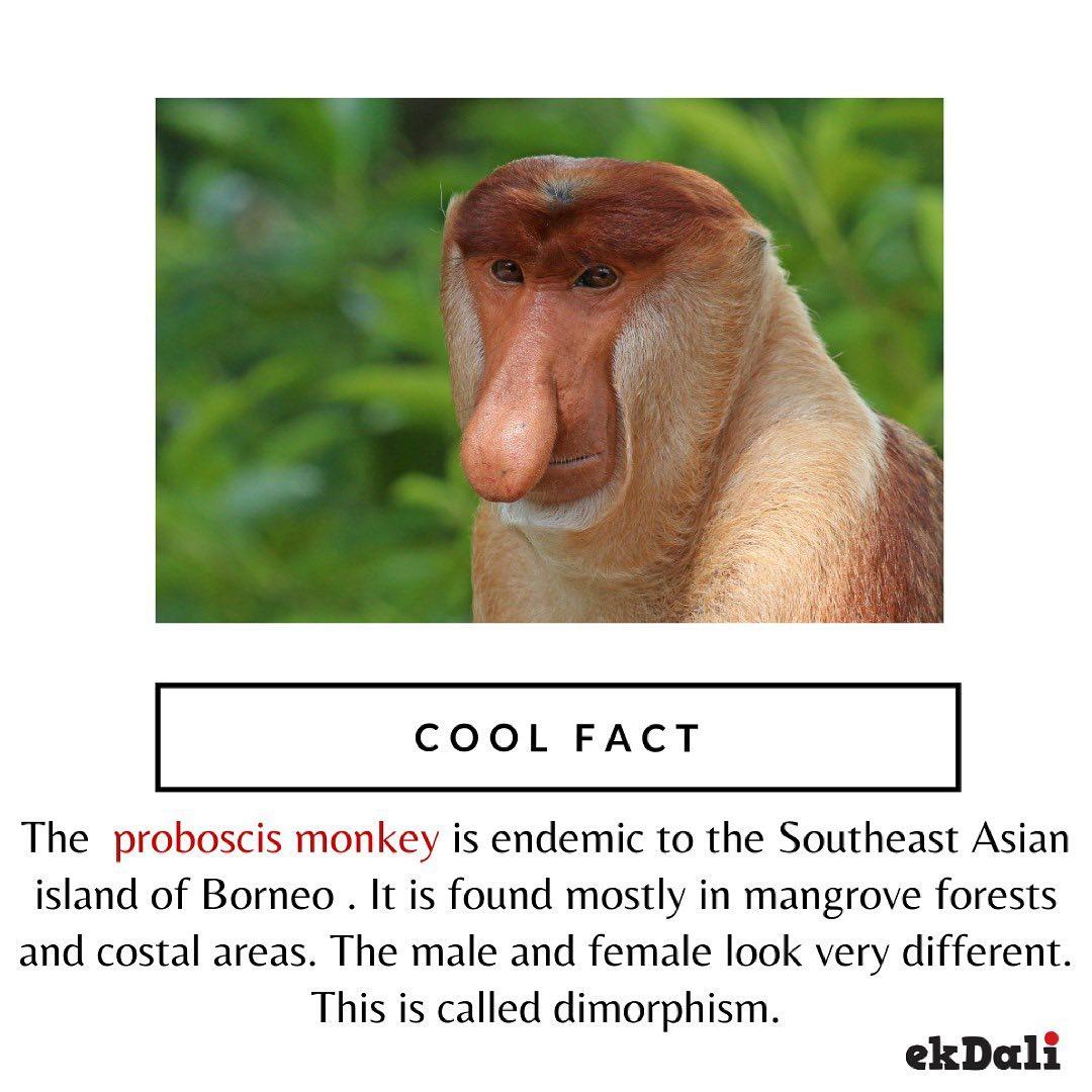 Cool Fact - Proboscis Monkey