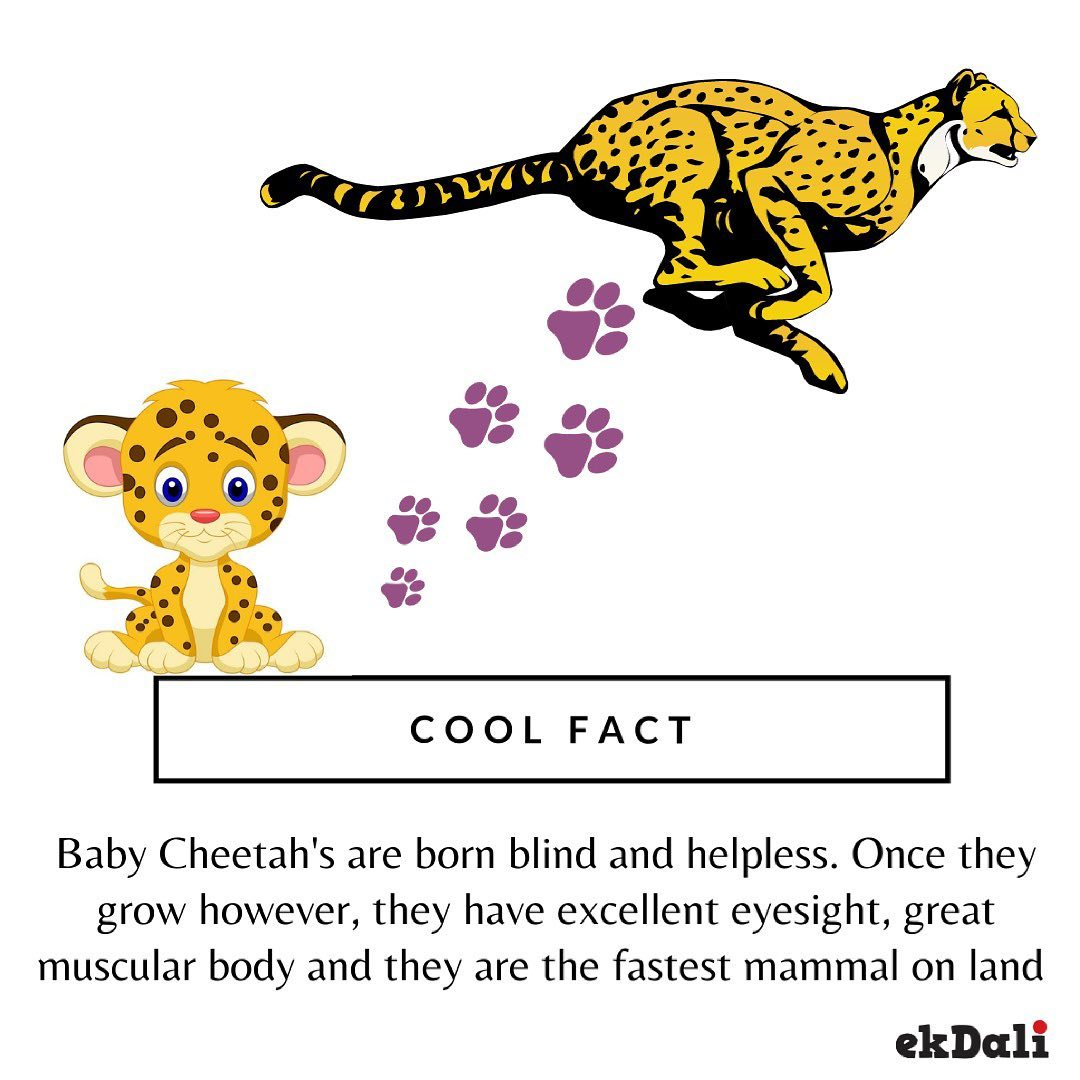Cool Fact - Baby Cheetah's are born blind & Helpless