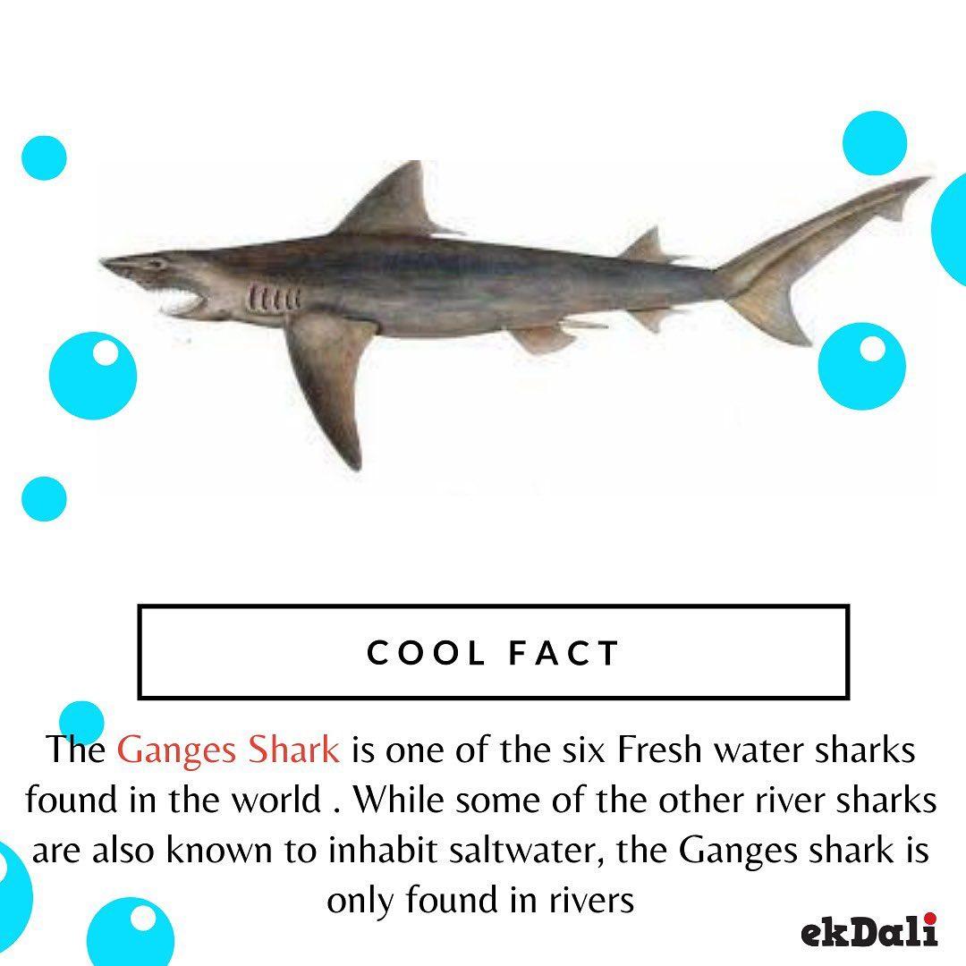 Cool Fact - Ganges Shark