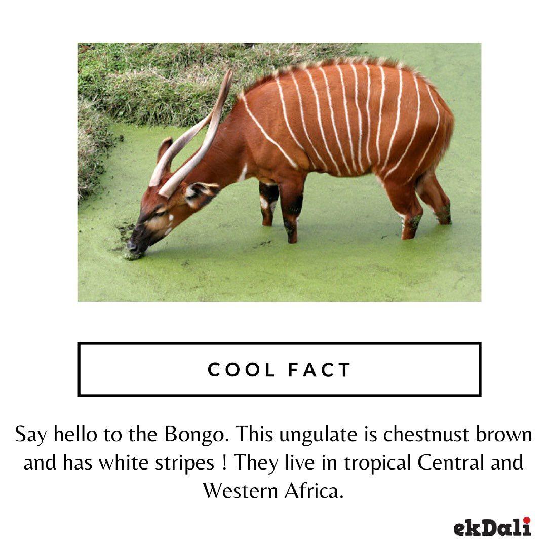 Cool Fact - Say Hello to the Bongo