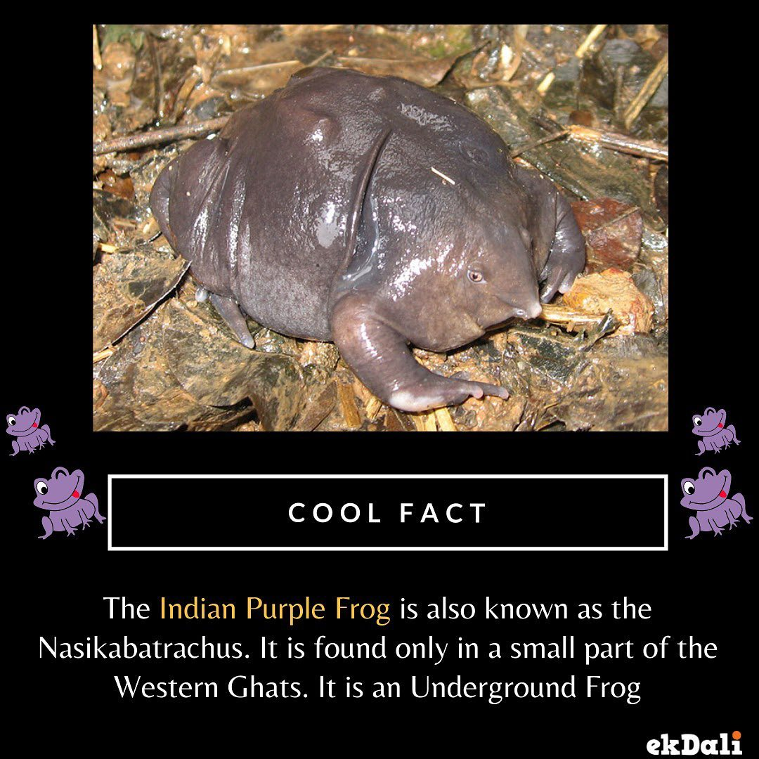 Animals of India - Indian Purple Frog