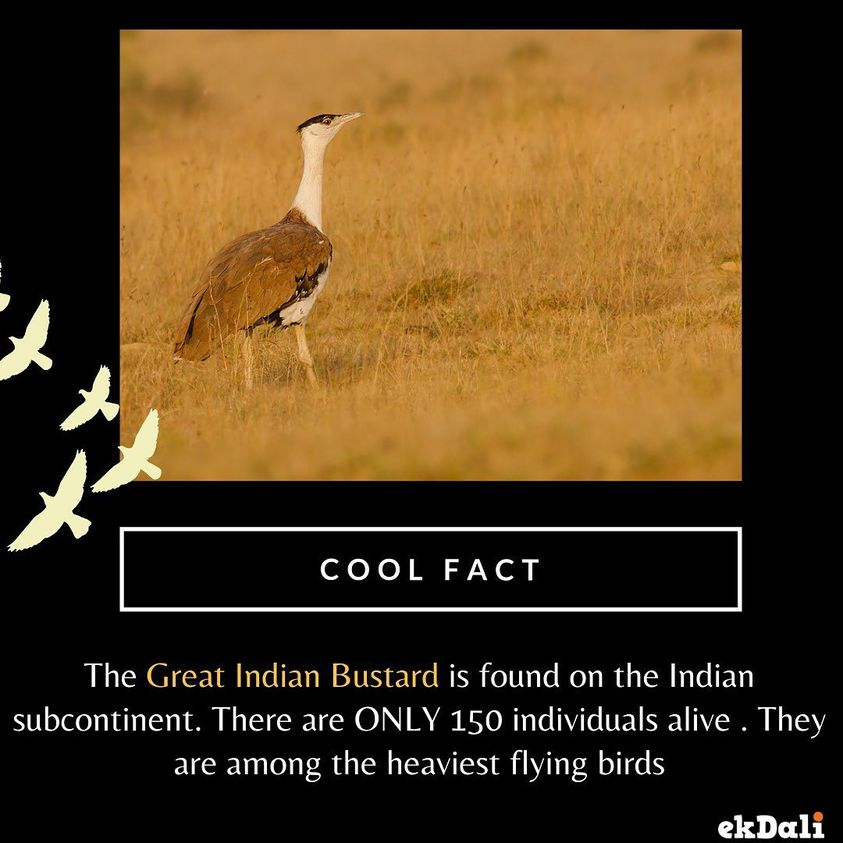 Animals of India - The Great Indian Bustard