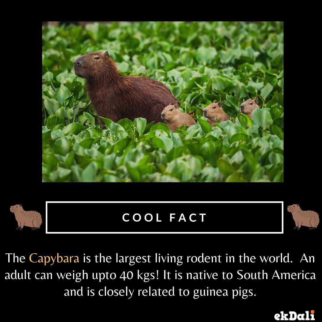 The Capybara is the largest living rodent in the World
