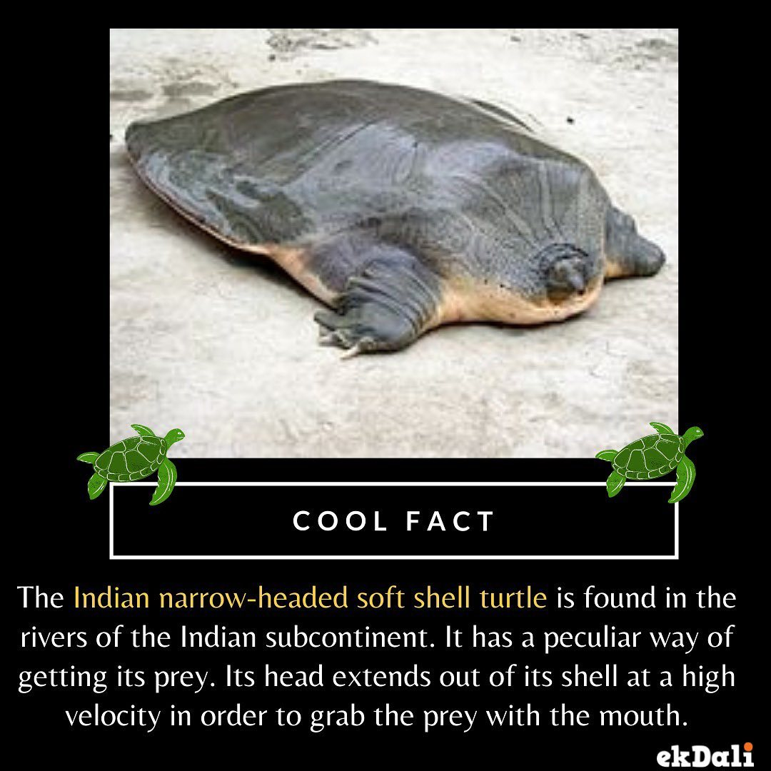 ANIMALS OF INDIA - The Indian narrow- headed soft sea shell turtle